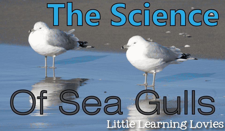The-Science-Of-Sea-Gulls
