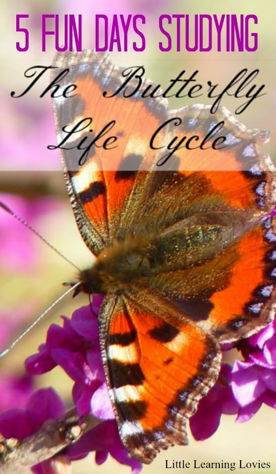 5 Fun-filled days of studying the butterfly life cycle!